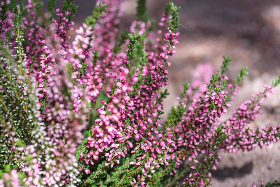 Heather shrub with small pink racemes and scale-like leaves in sunlight