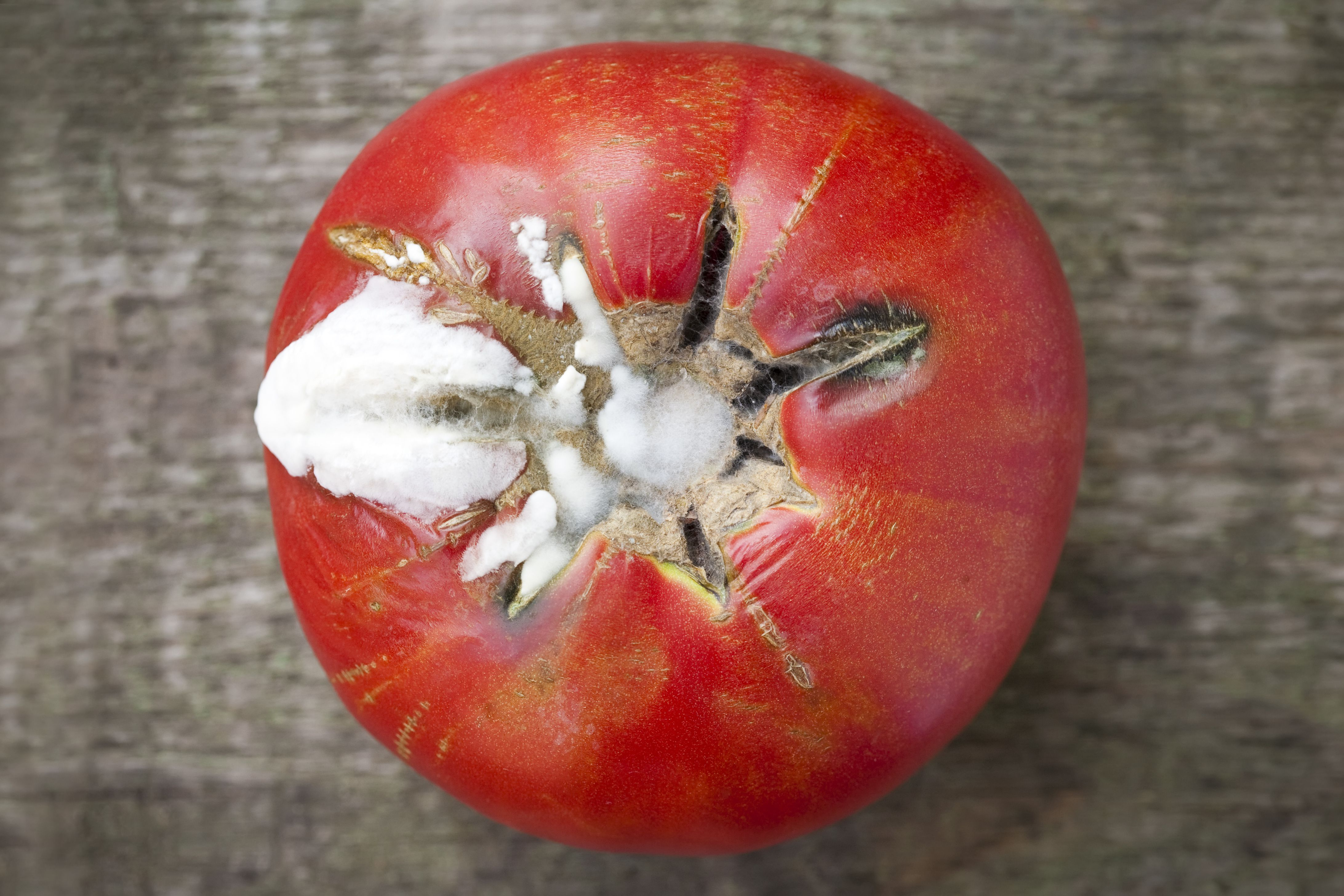 Rotten Moldy Tomato