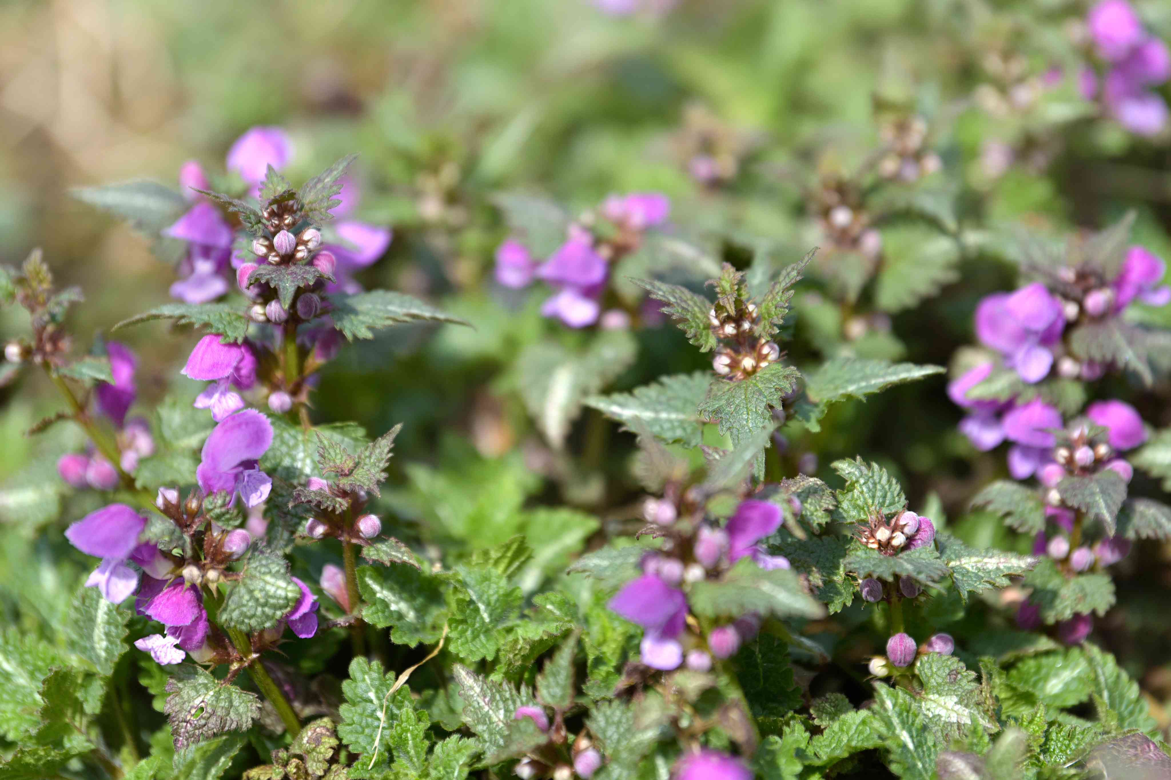 Spotted dead nettle plants with small pink flowers and buds on top of stems in sunlight