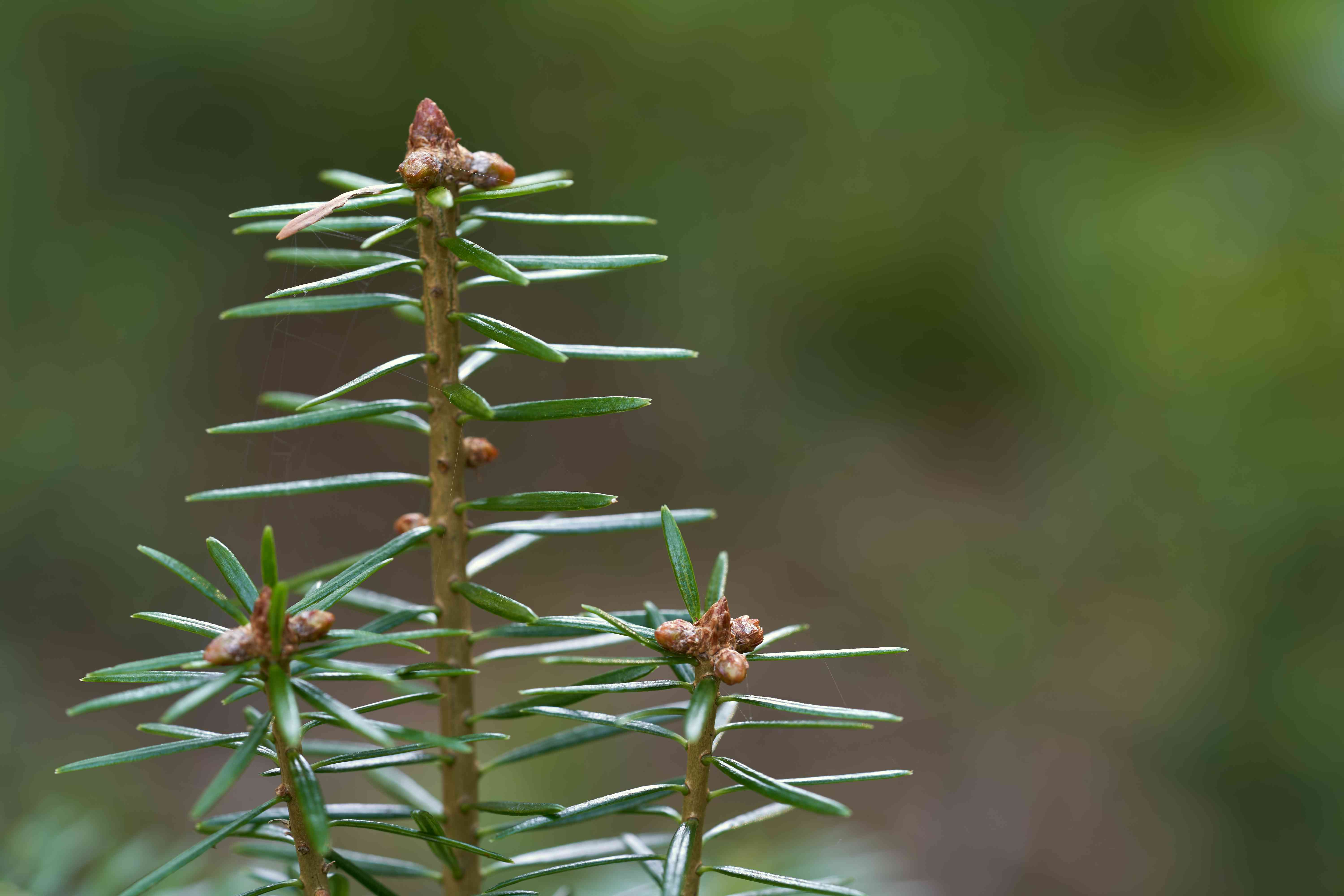 Top of young Abies alba tree on the blurred background. Also known as European silver fir or silver fir.