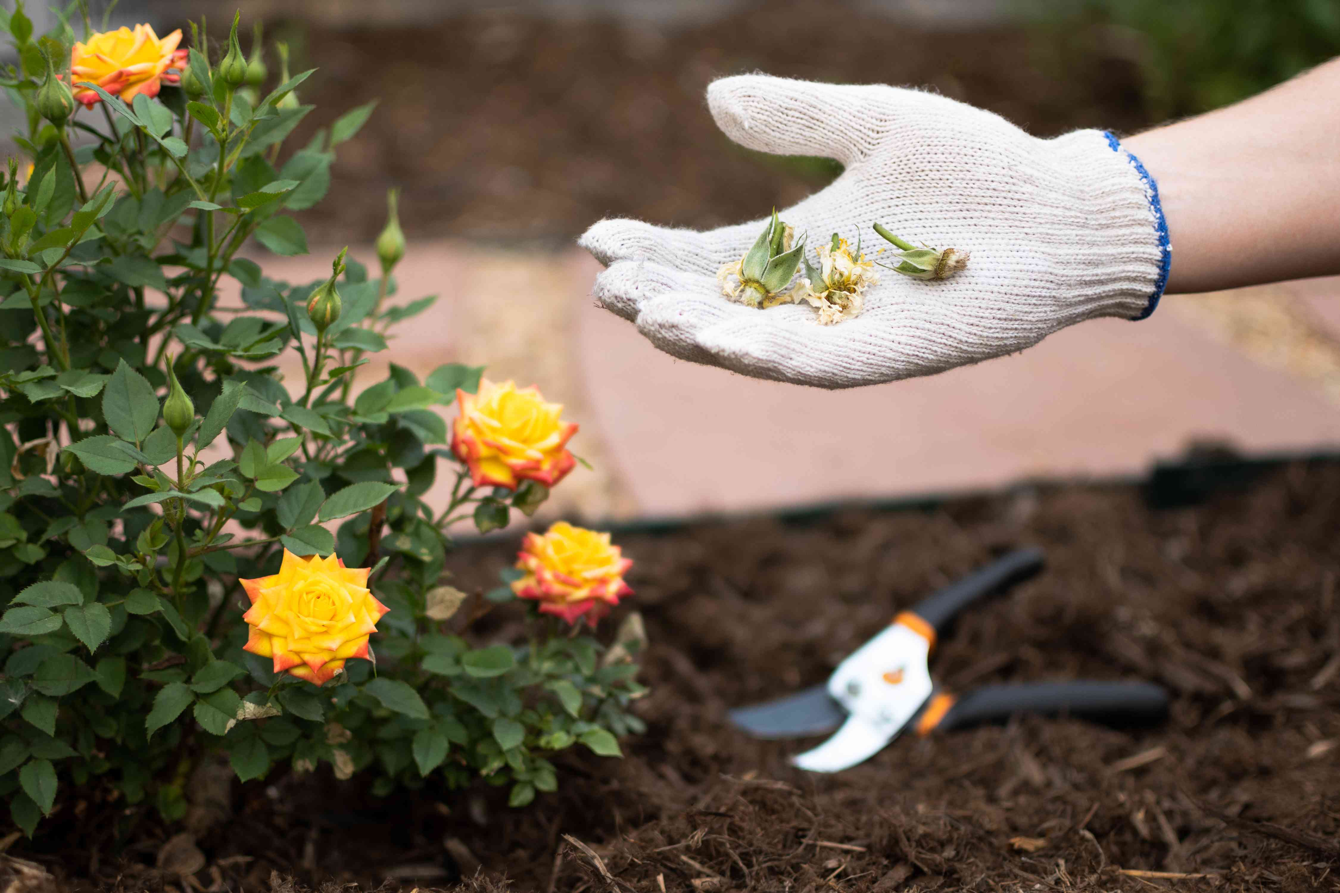 Deadheaded faded roses in gardeners hand next to yellow rose bush