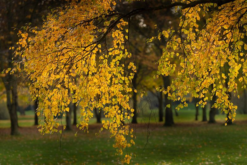 Branches with weeping form covered in yellow leaves.