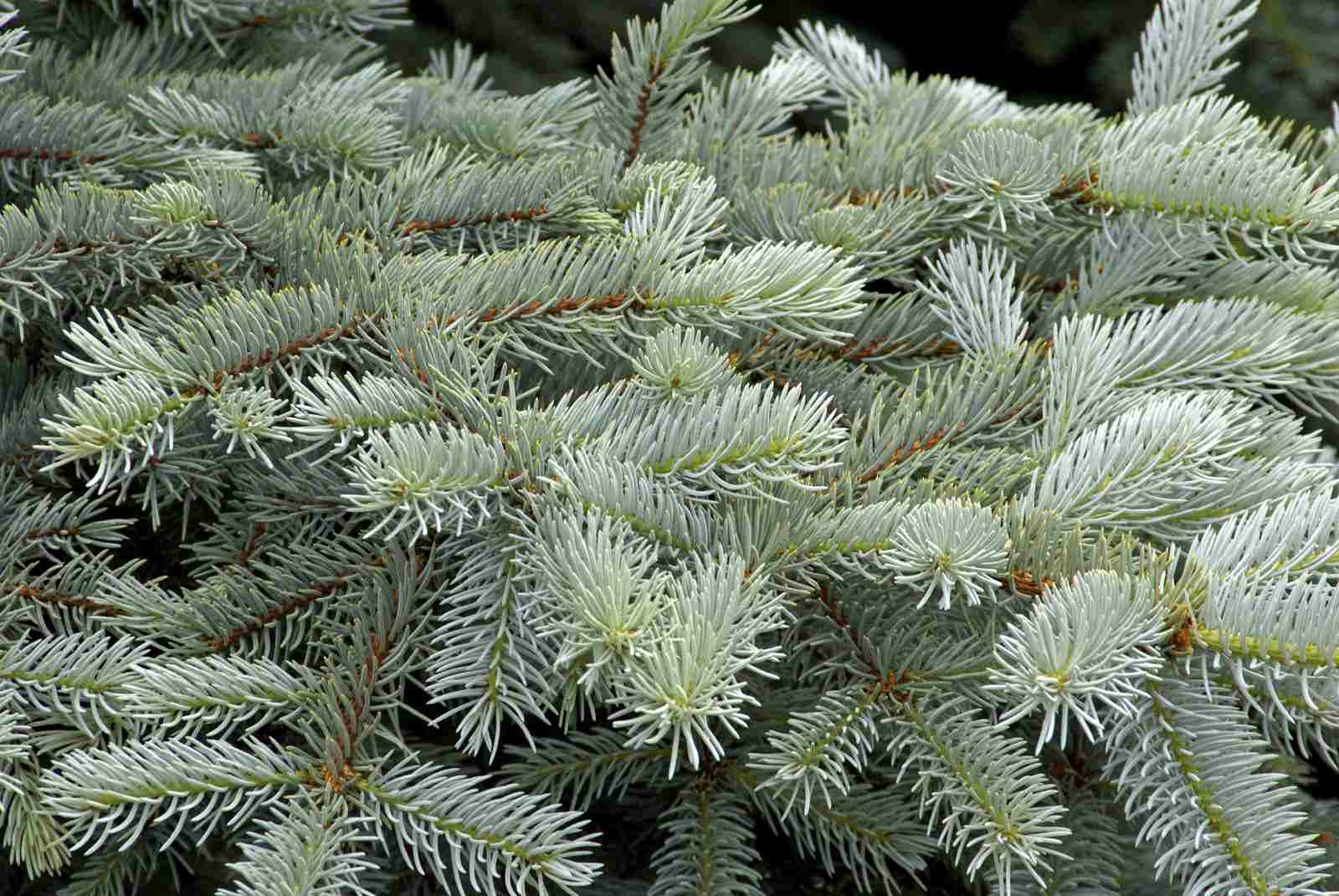 Colorado Blue Spruce Branches