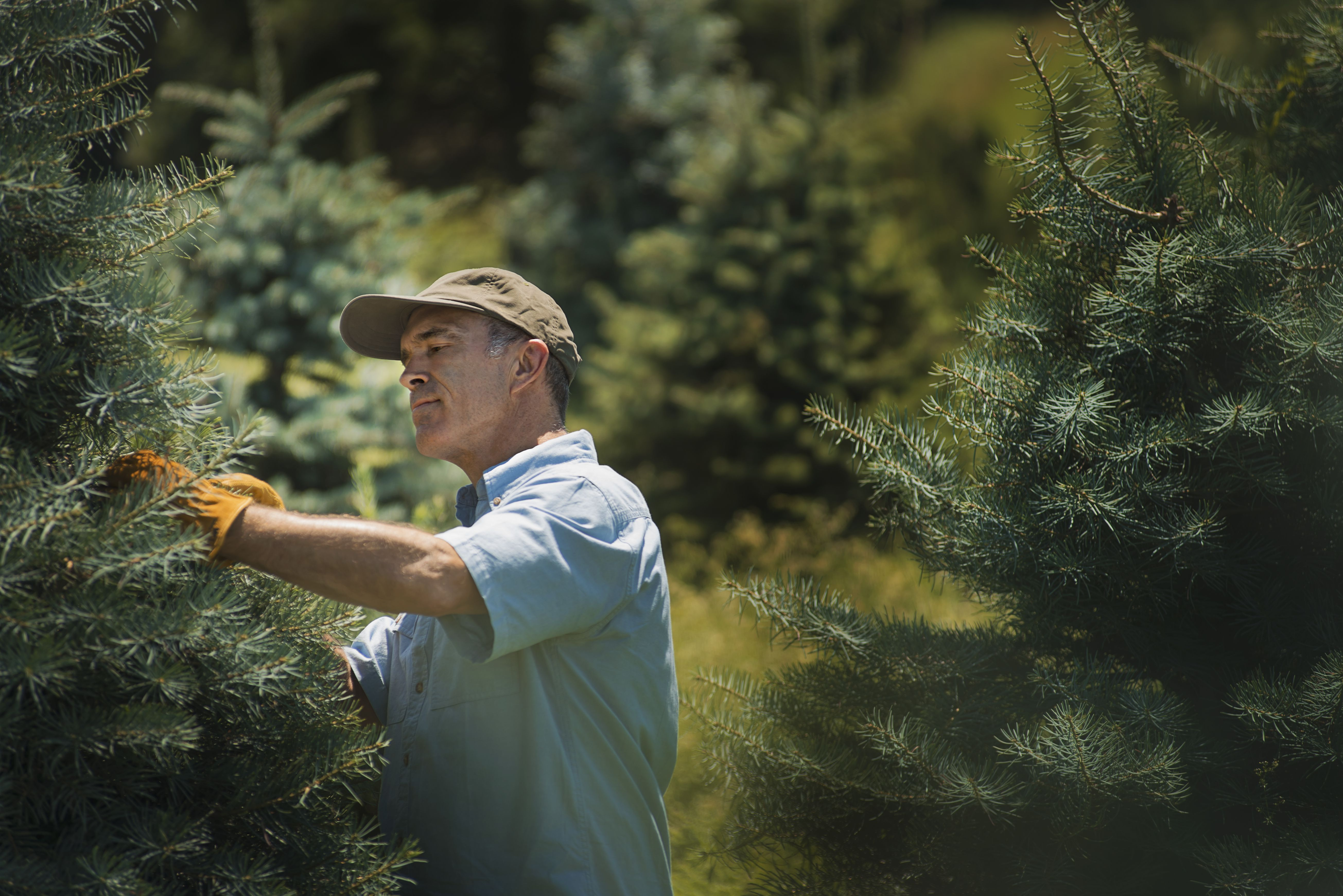 Evergreens Pruning Fir Trees in the Landscape