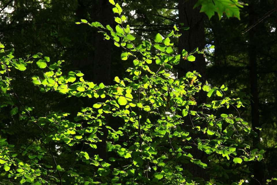 Beaked hazelnut ( Corylus cornuta) shrub in the forest understory.