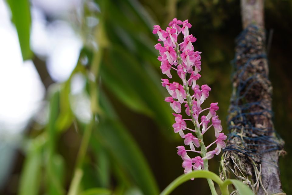 Ascocentrum flowers