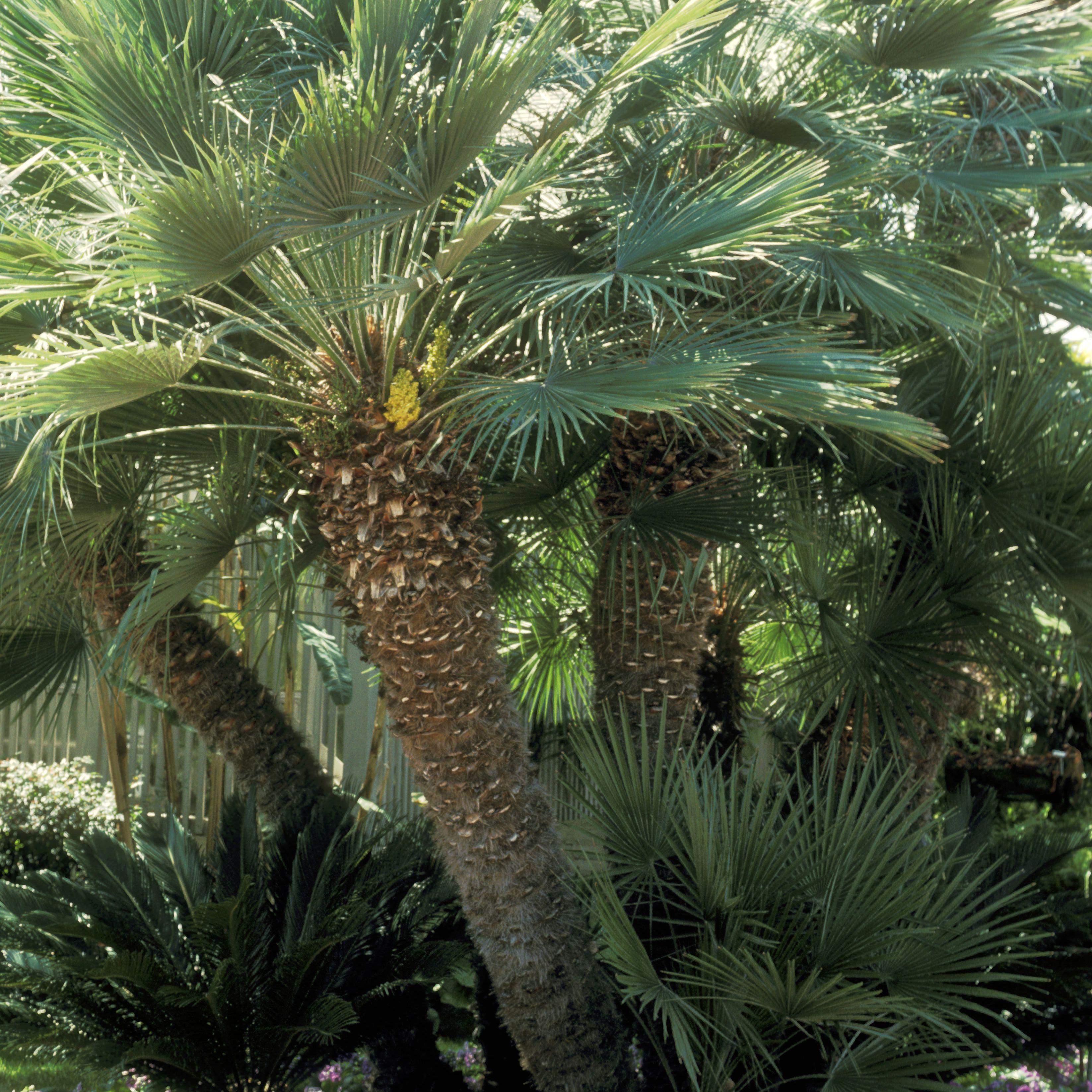 palmera mediterránea