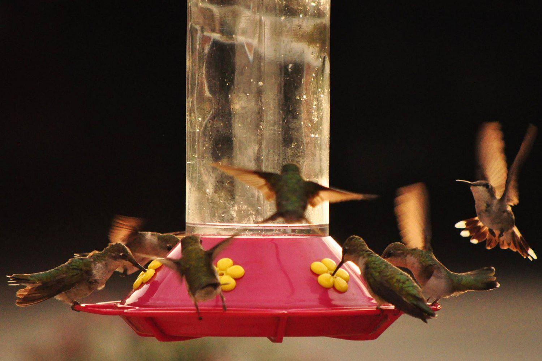 Hummingbirds flocking to a feeder