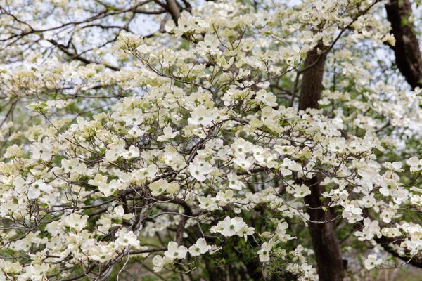 Flowering dogwood tree branches with white flowers