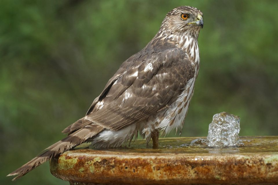 Cooper's Hawk at a Bird Bath