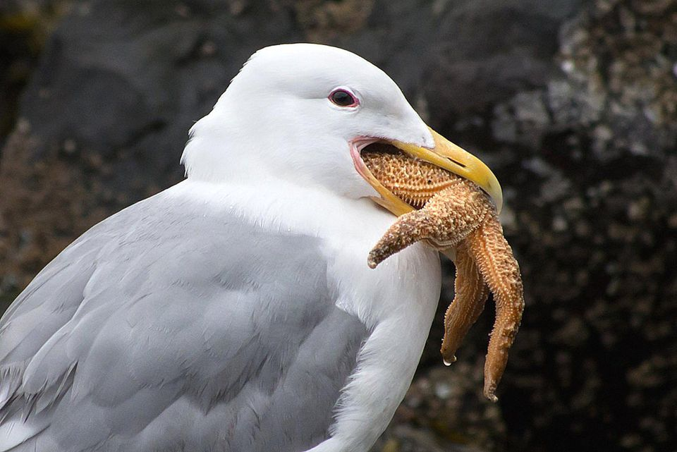 Gull eating a starfish.