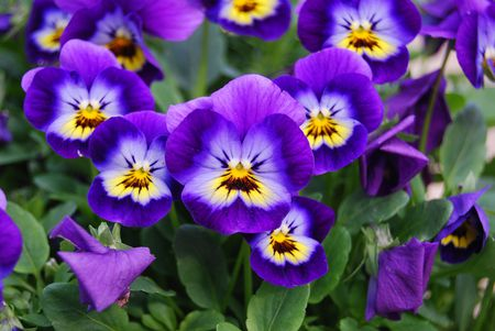 How to Grow and Care for Violas