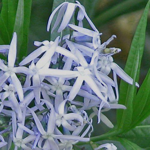 Amsonia tabernaemontana Plants