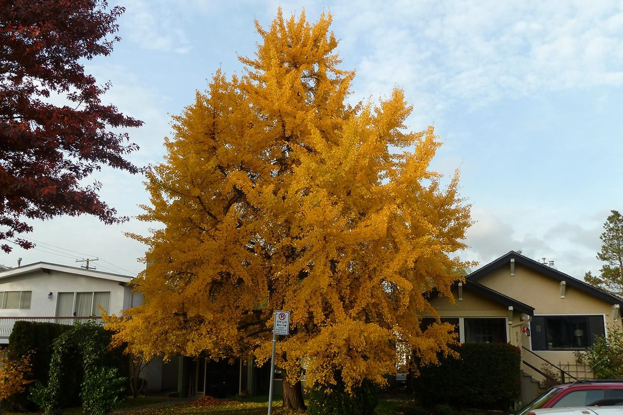 Growing Ginkgo Biloba In Your Yard