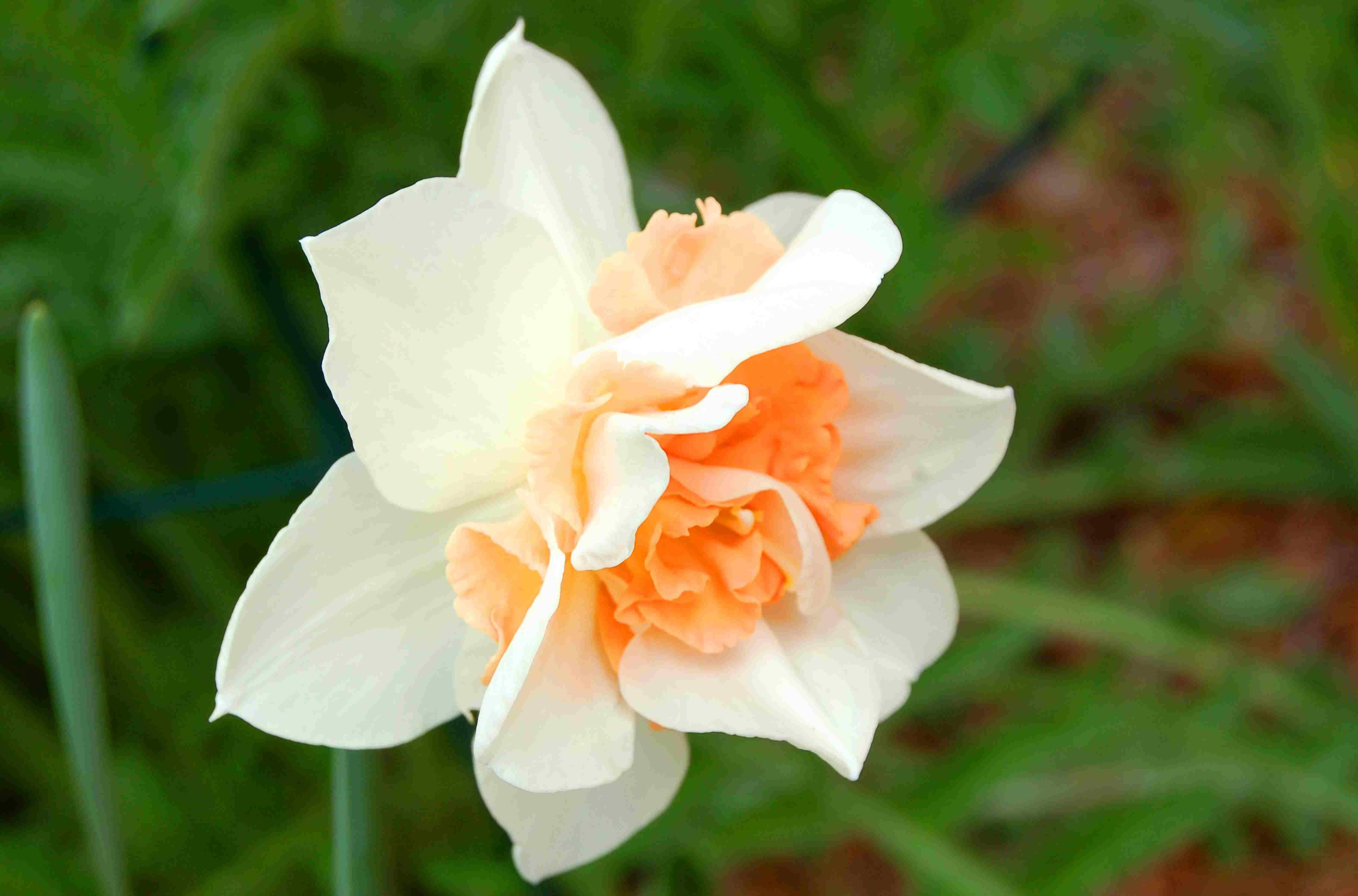 Narcissus Replete flower.