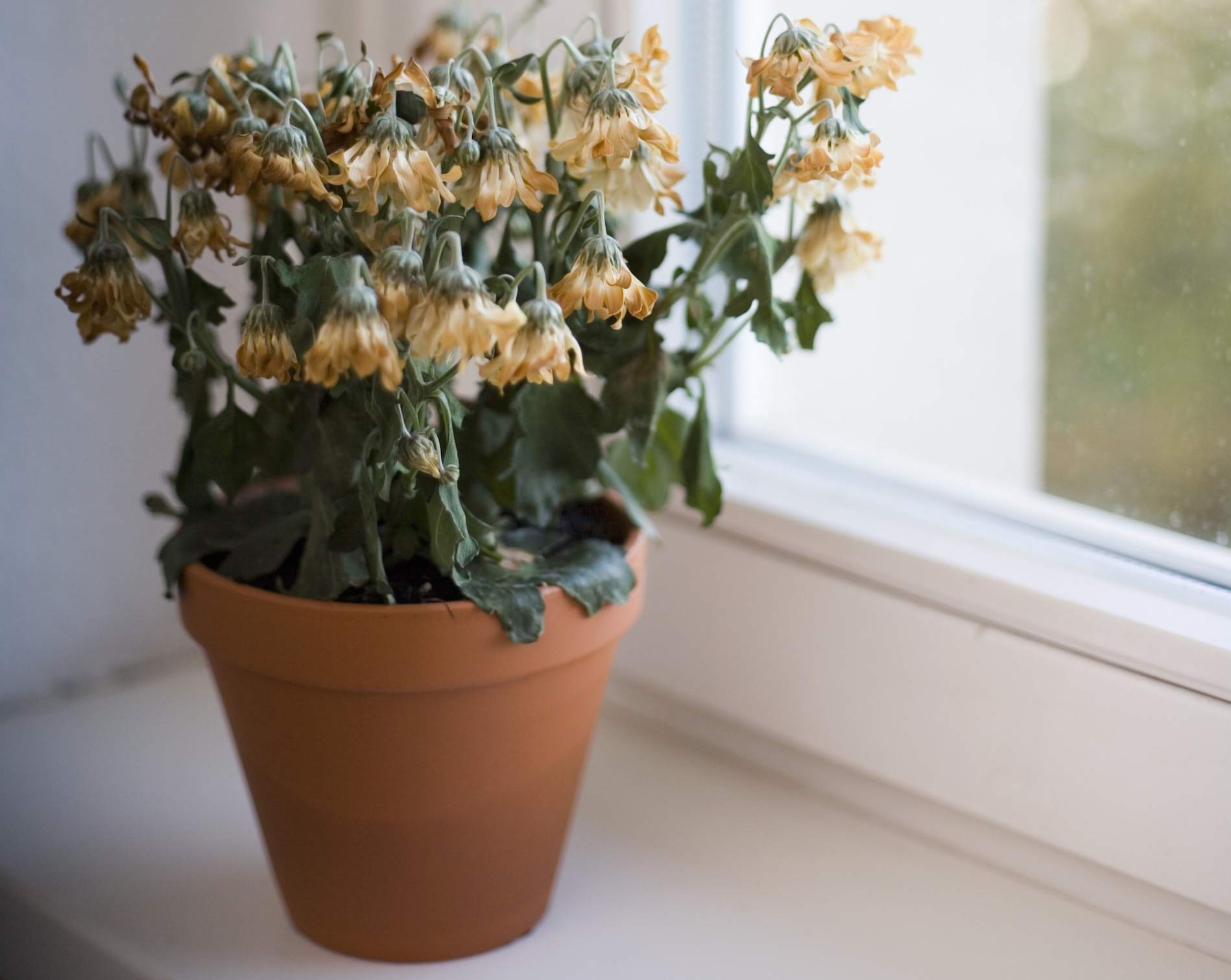 Dying flowers on window sill