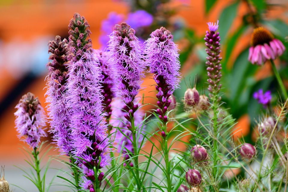 Bright purple, feathery-looking flower spikes of the Liatris spicata 'Kobold' are shown with other wildflowers in a garden.