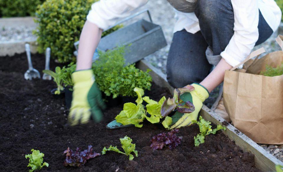 A woman planting seedlings in garden