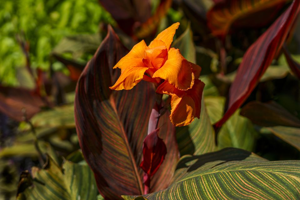 Tropicanna canna in bloom with striped leaves.