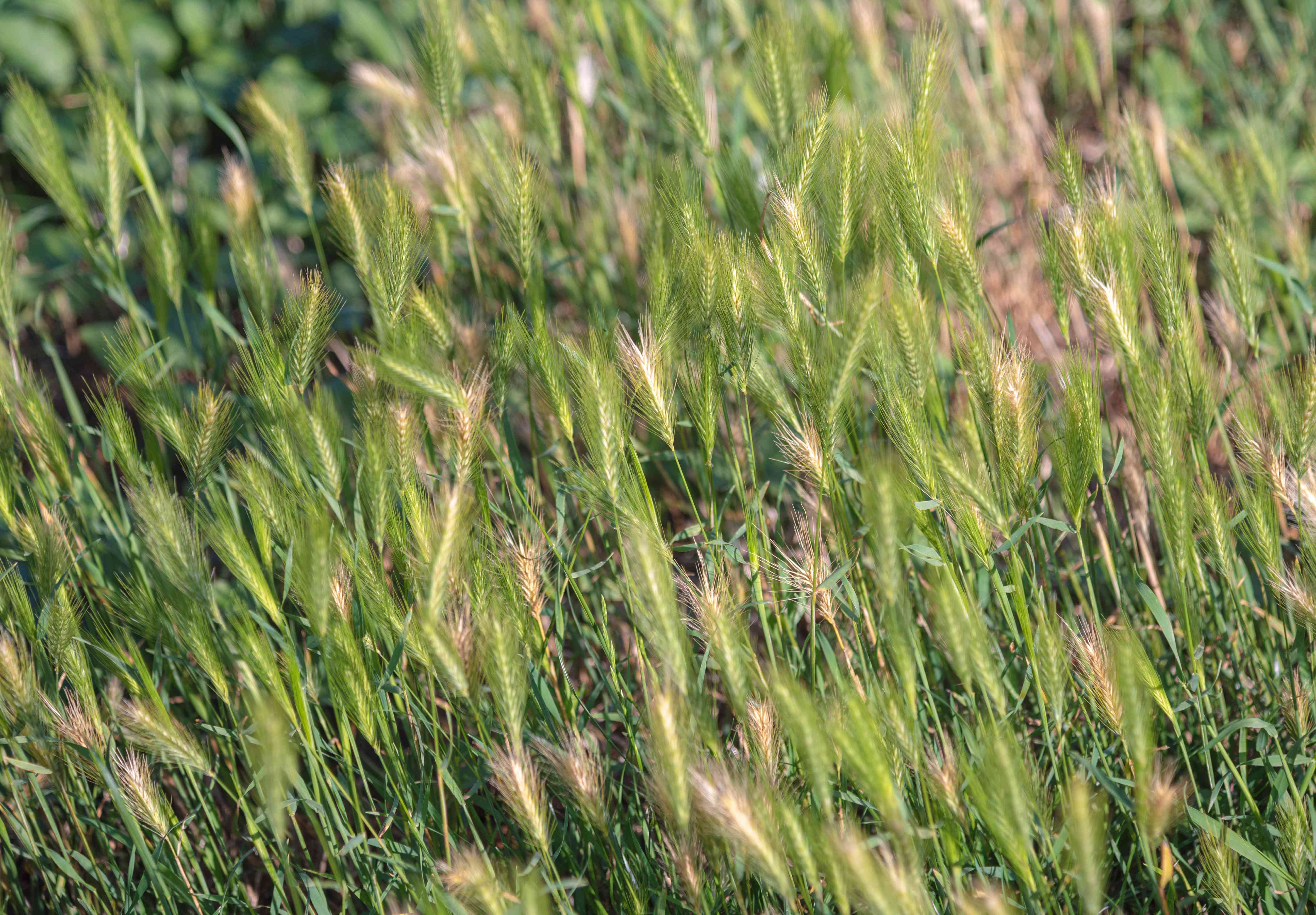 Canada wil rye ornamental with clump-forming grass on thin stems