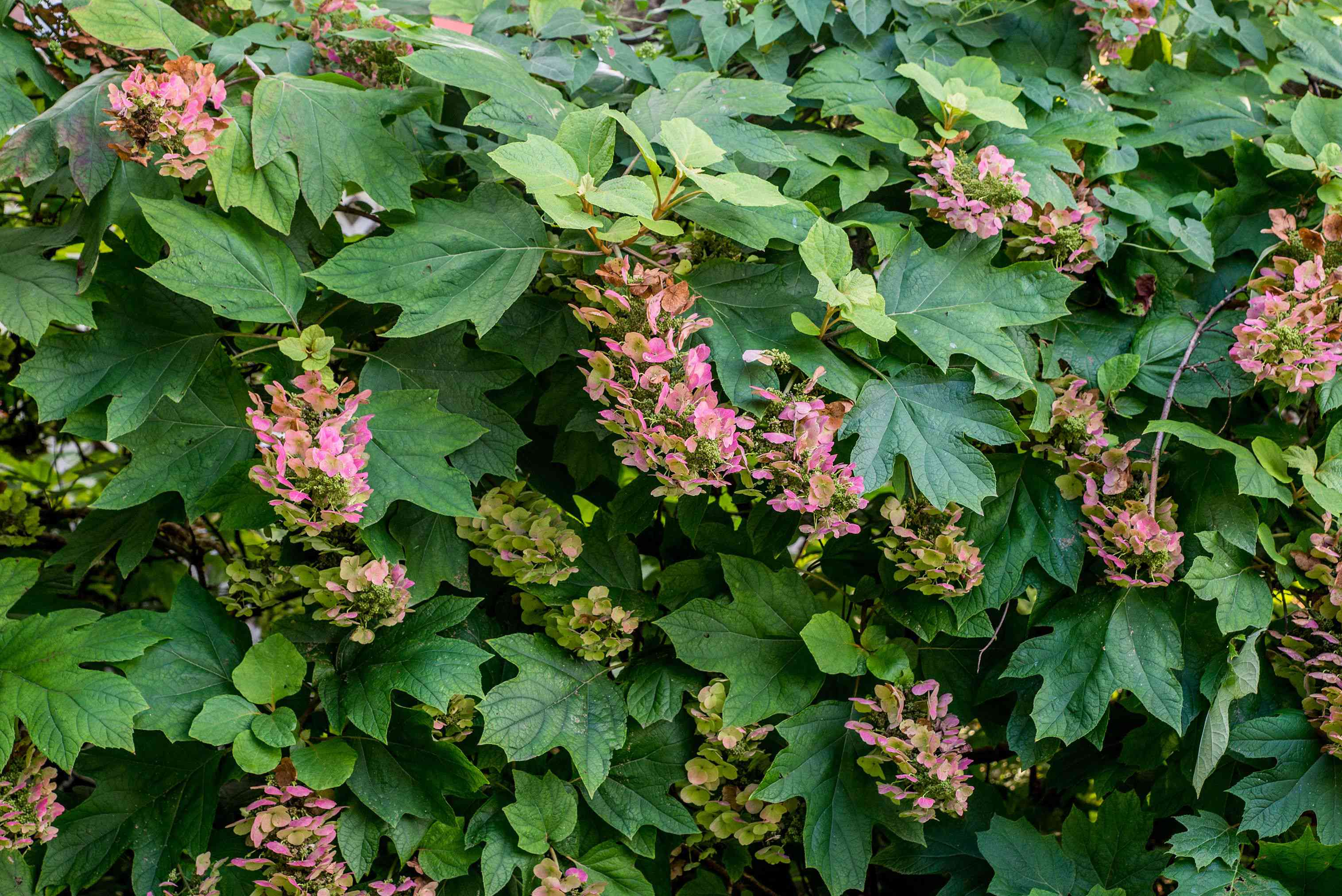 Oakleaf hydrangea bush with large green leaves and small pink