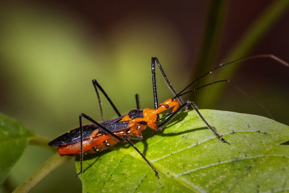 Red and black insect with spiny black legs on a green leaf