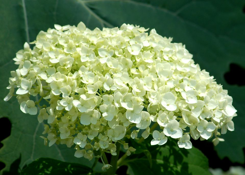 Incrediball hydrangea in bloom.