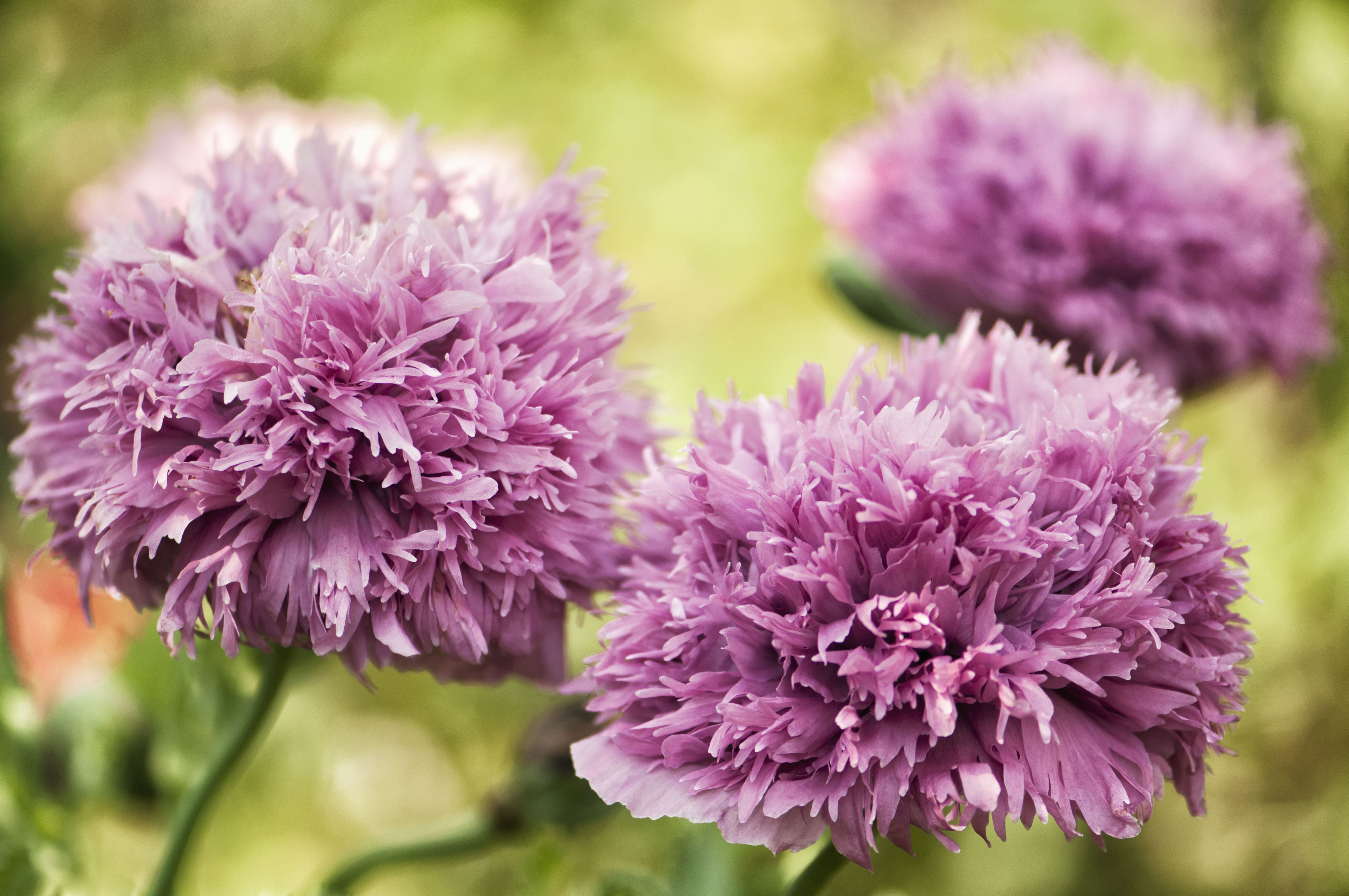 Tallulah Belle Blush Poppy
