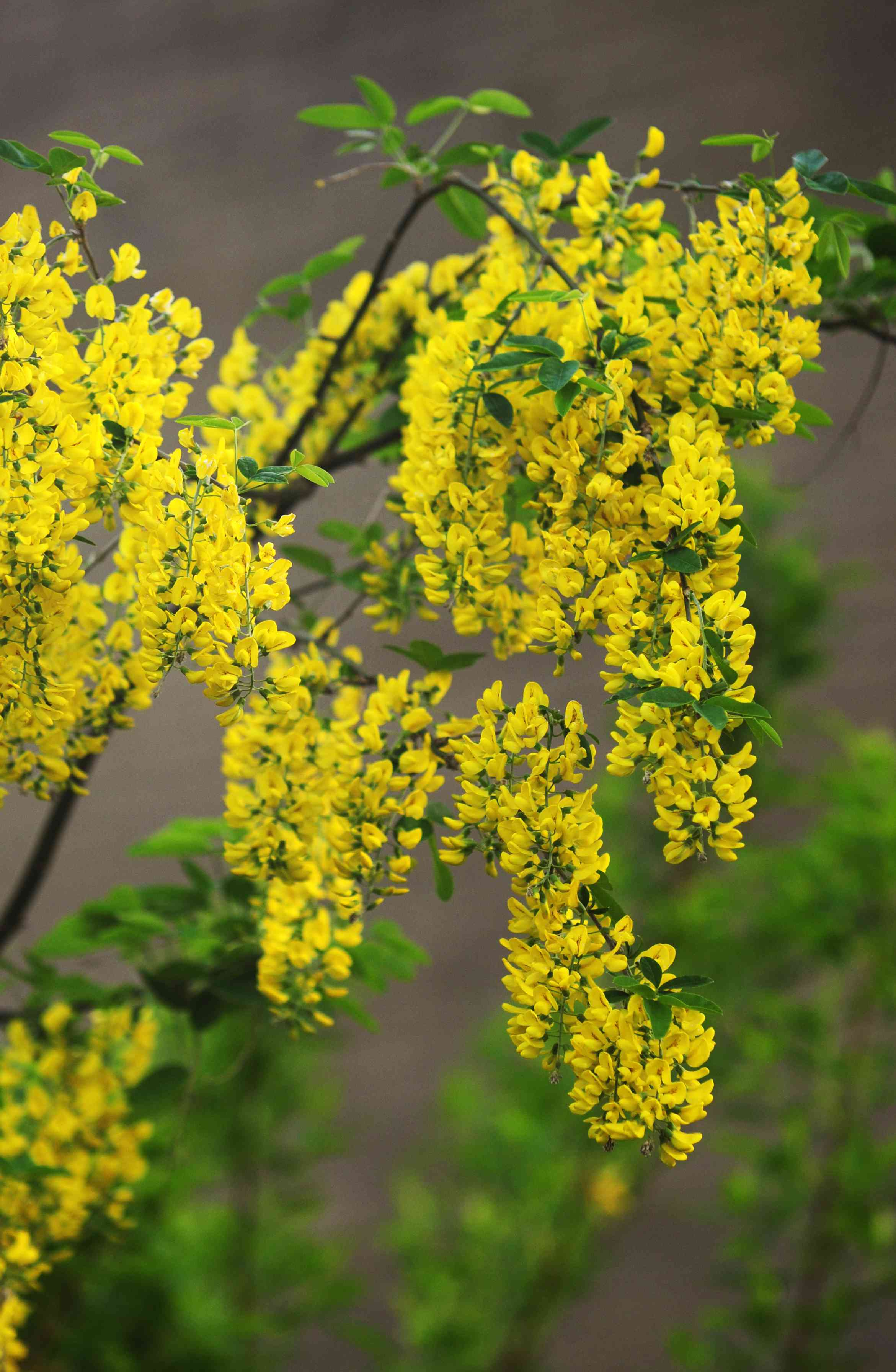 Golden chain tree with golden-yellow flowers cluster on branch