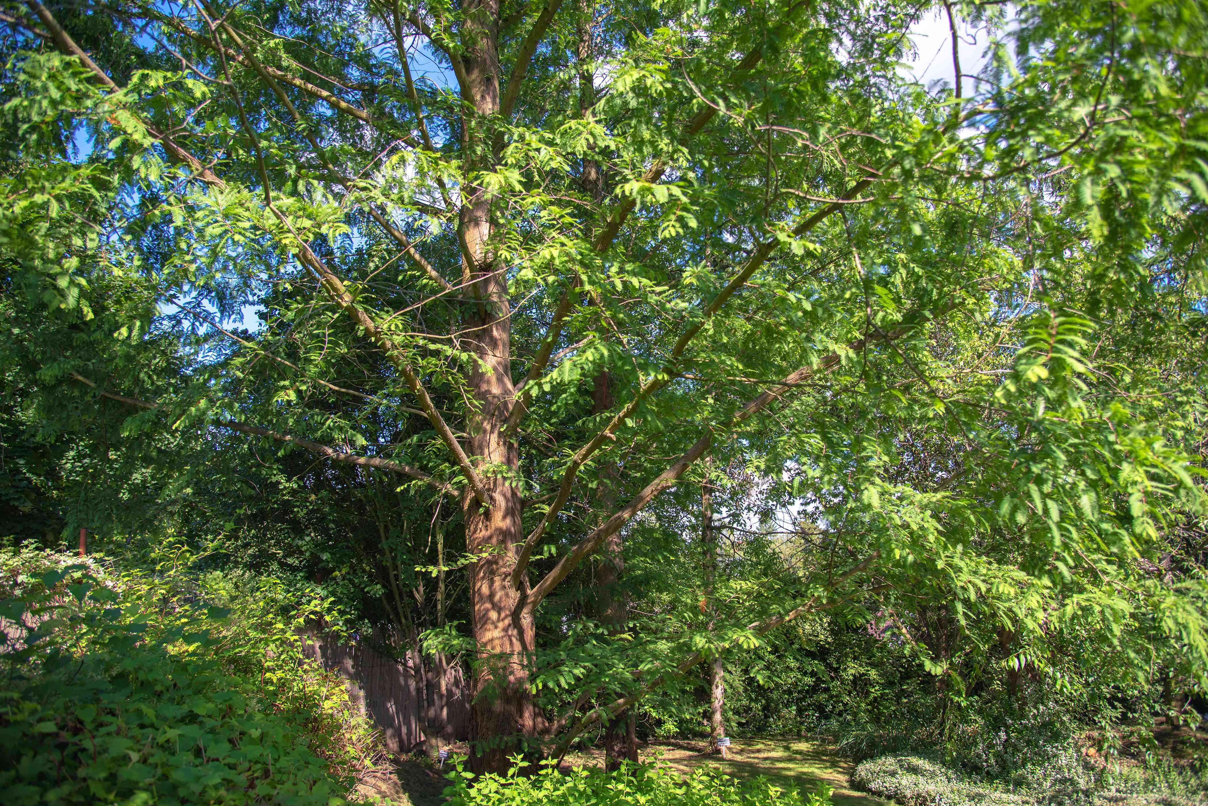 Dawn redwood tree with extended branches with feathery, fine-textured needles