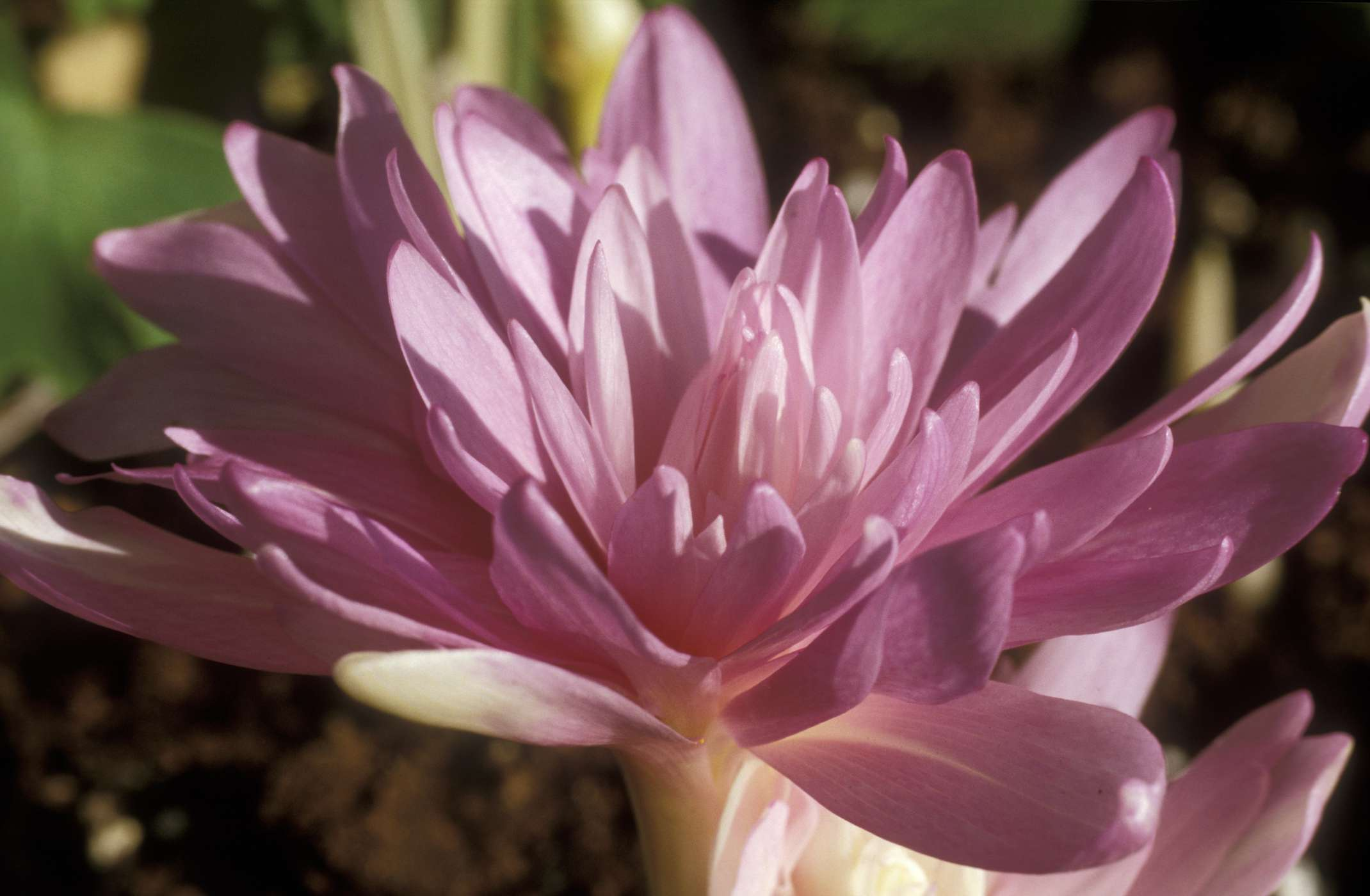 How to Grow and Care for Autumn Crocus