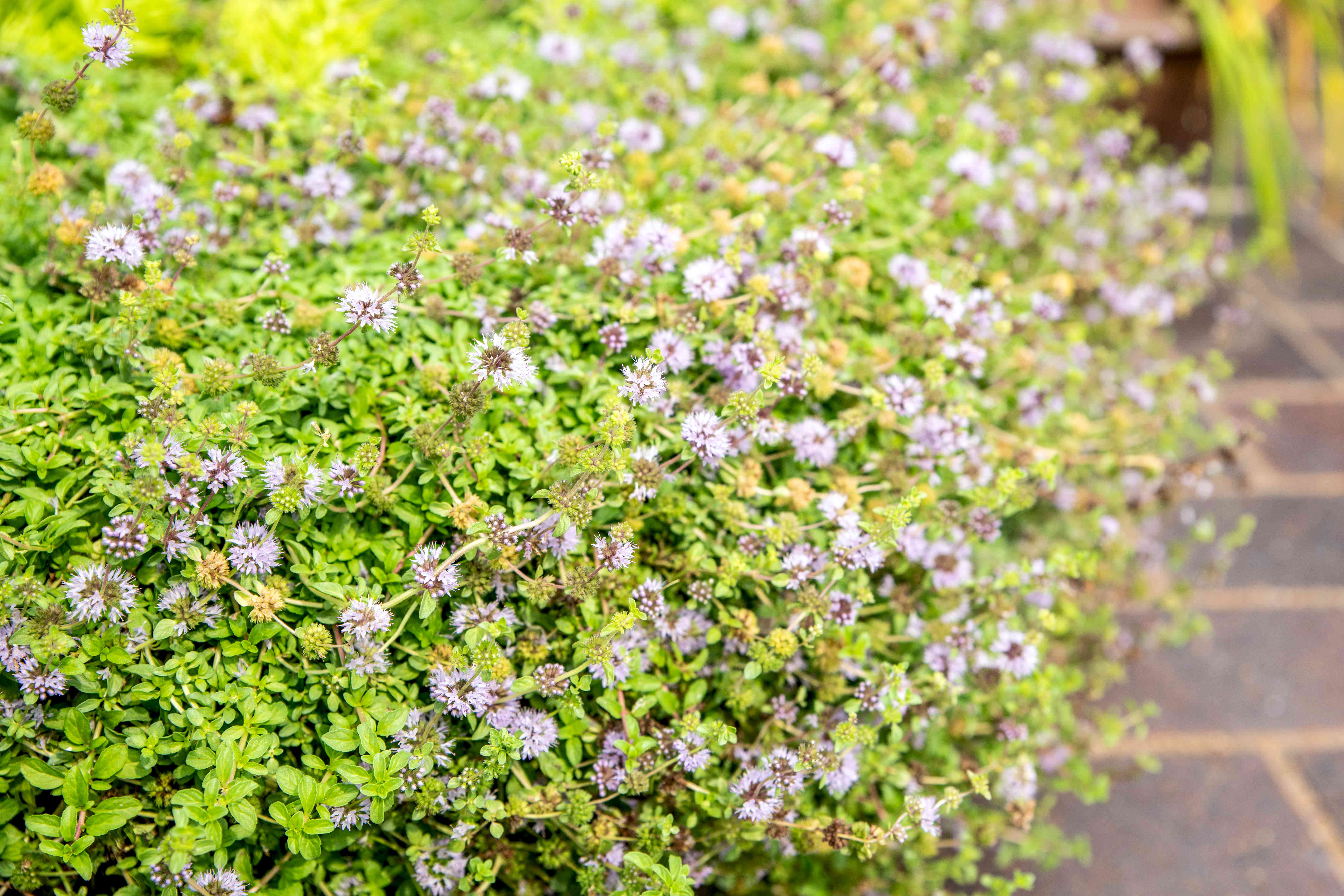 Pennyroyal plant with vibrant green leaves tightly packed under tiny purple blooms near pathway