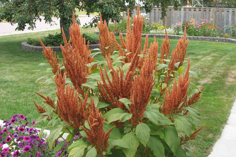 Amaranthus 'Hot Biscuits'