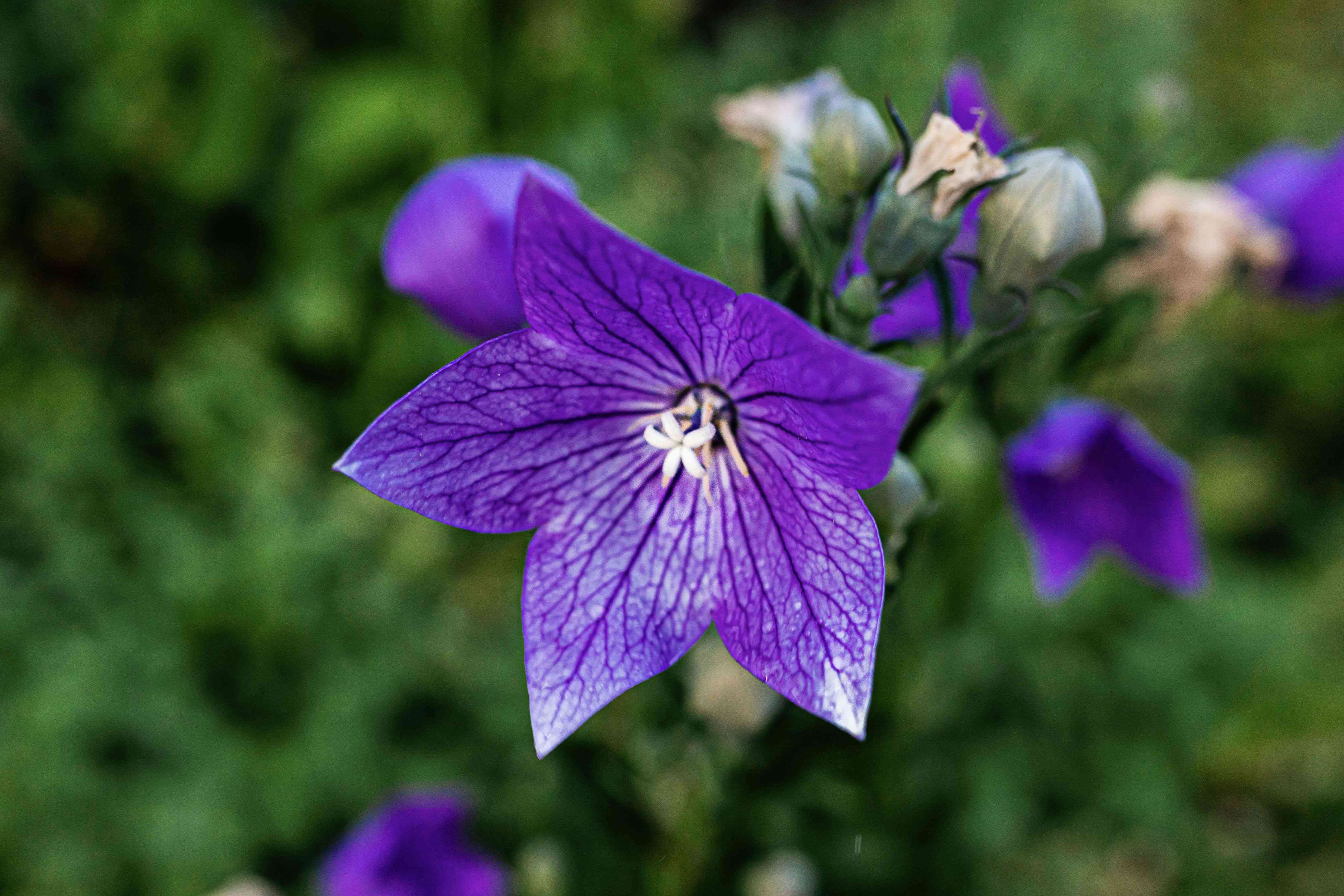Balloon flower with deep purple colored and star-shaped petals in garden closeup