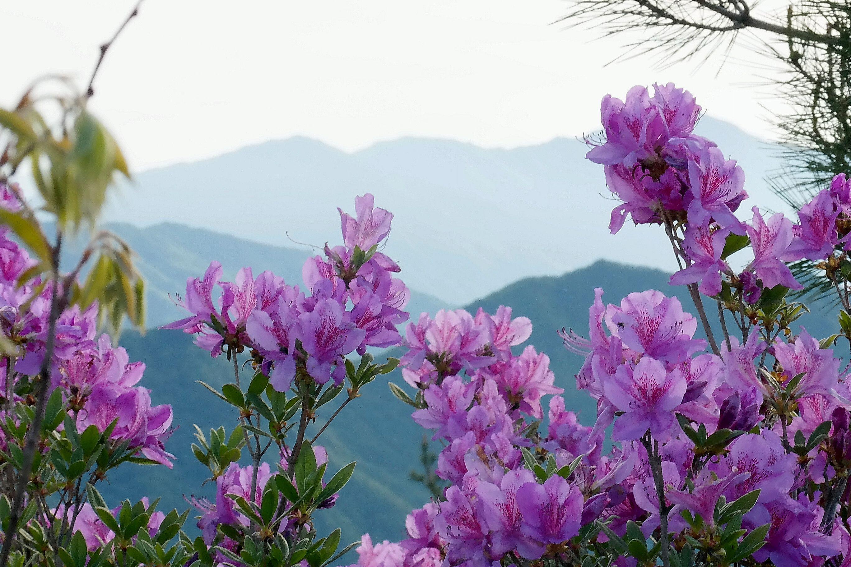 Azaleas de color lavanda contra un telón de fondo de montaña