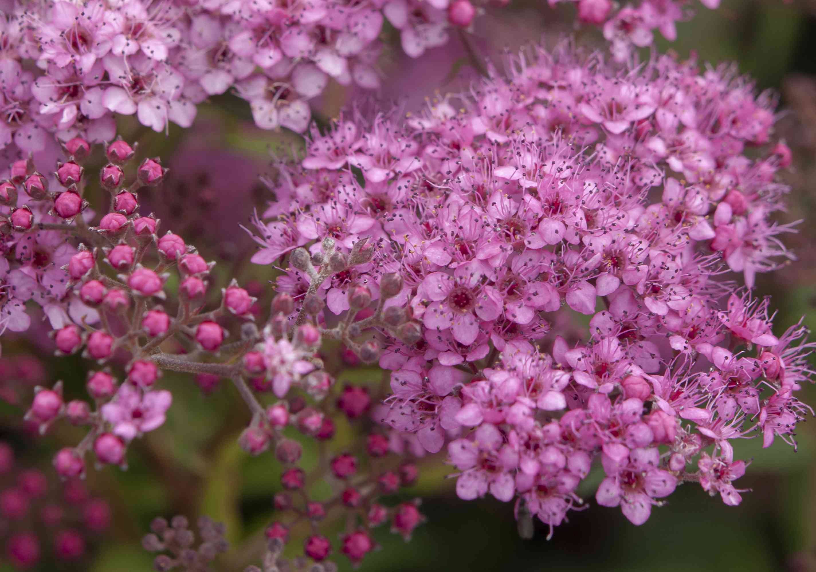 Neon flash spirea shrub with pink flower clusters and buds closeup