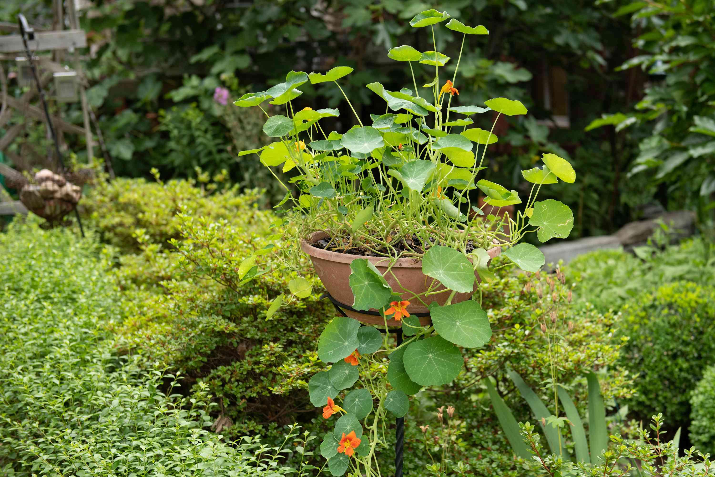 nasturtium flowers in a basket within a garden