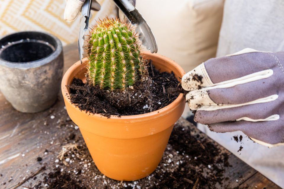 Cactus plant transplanted into clay pot with fresh soil