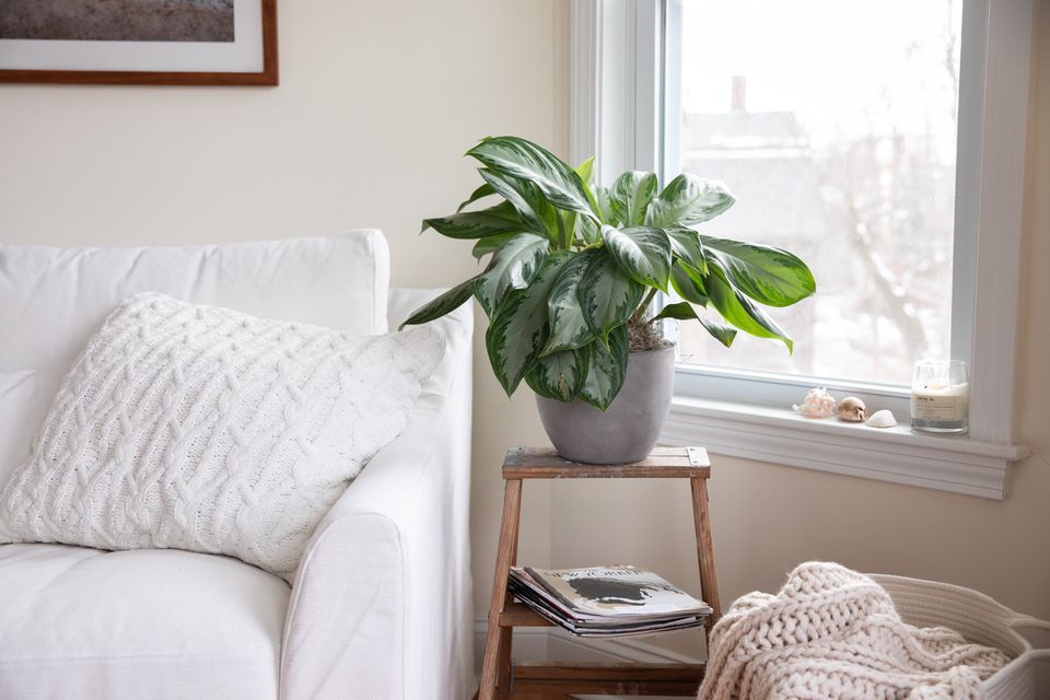an aglaonema plant by the window