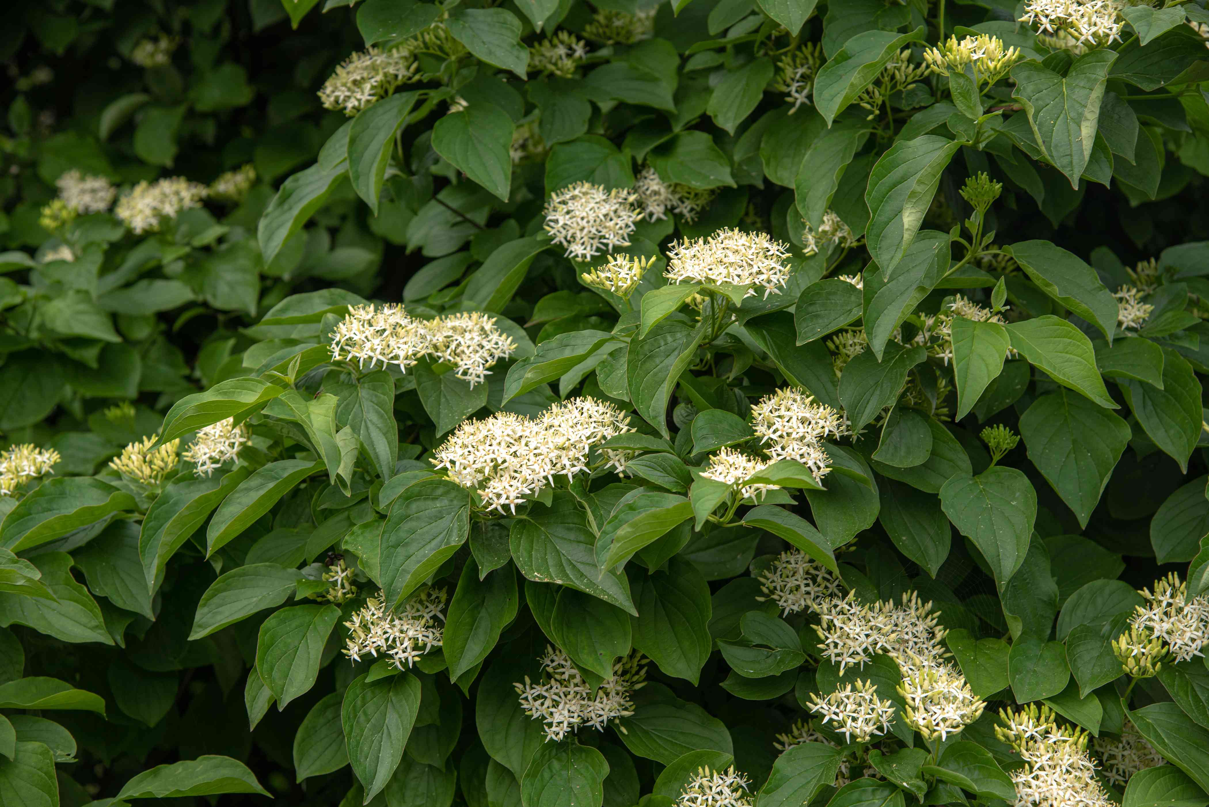 Silky dogwood shrub with small white flower clusters surrounded by large leaves