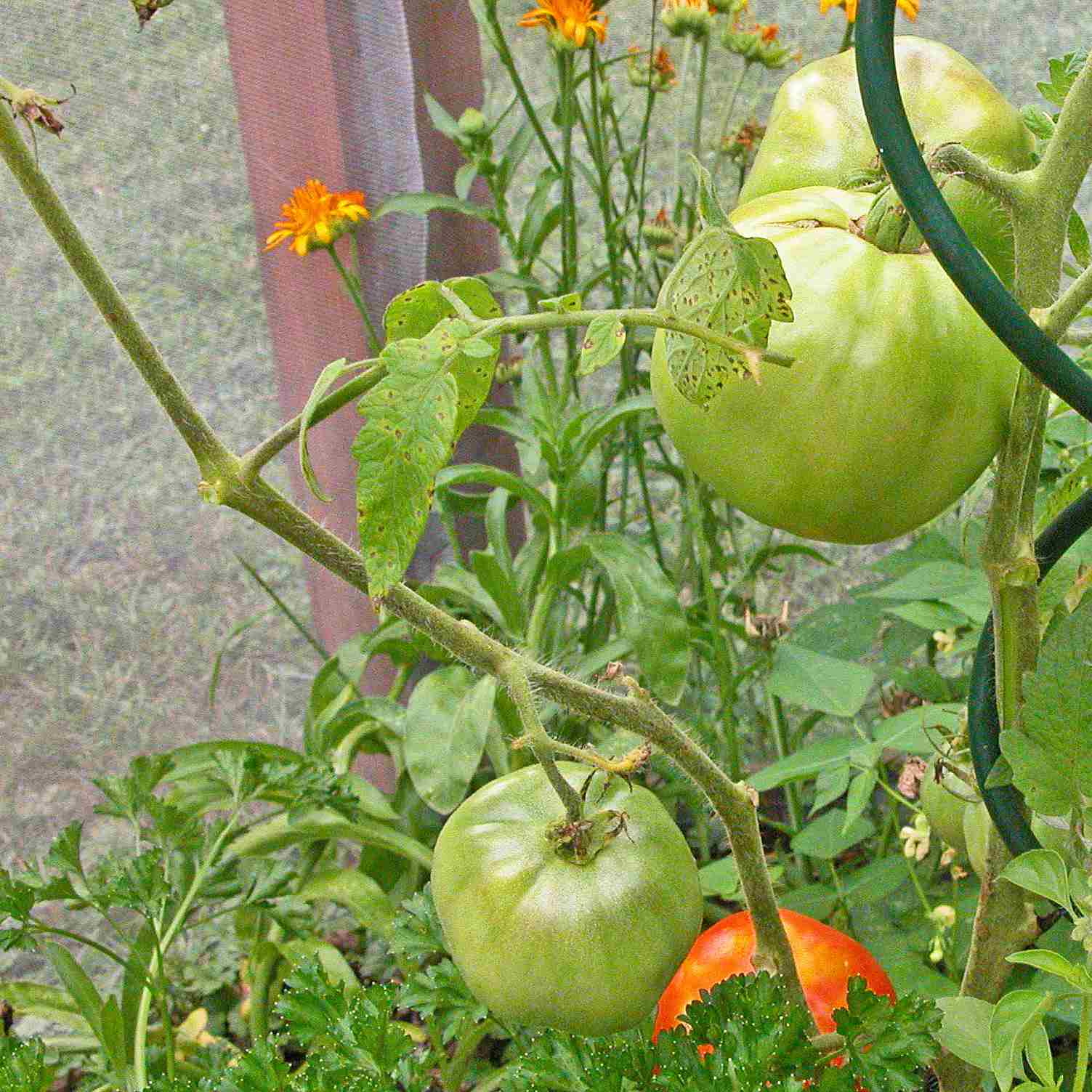 This tomato was underplanted with parsley, which is enjoying a little relief from the sun