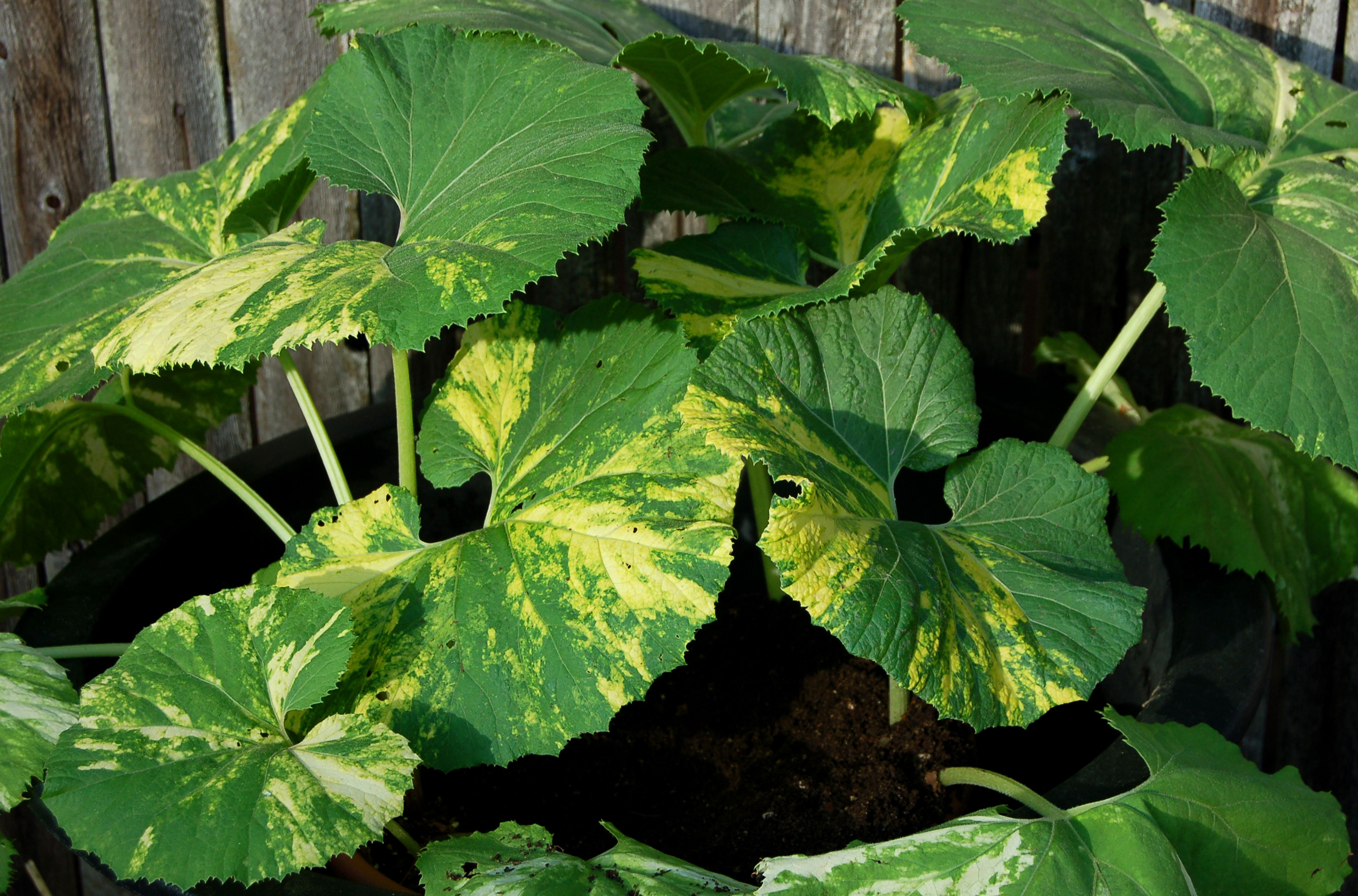 How To Grow Common Butterbur