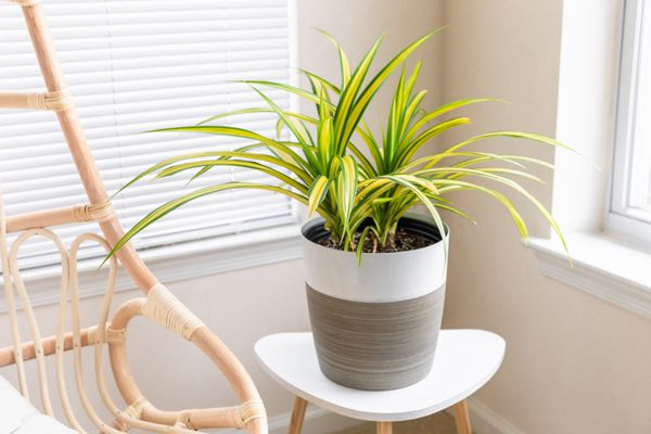 pandanus plant by a window