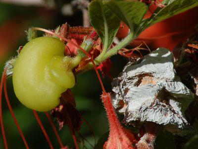 Azalea leaf gall