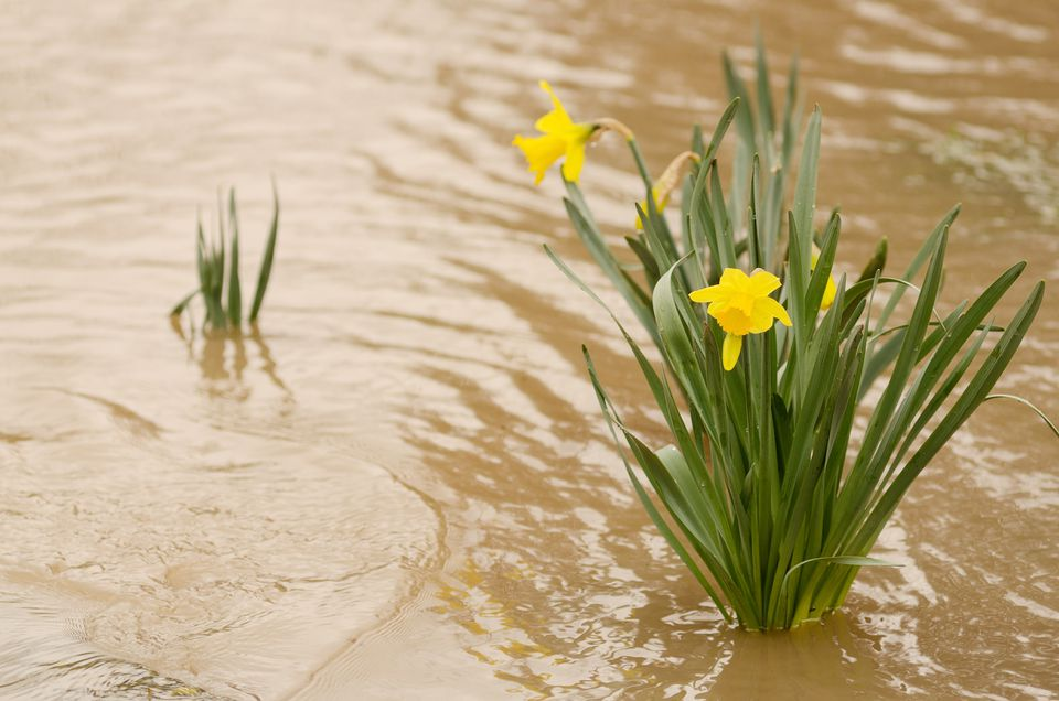 Daffodil plant standing in floodwater
