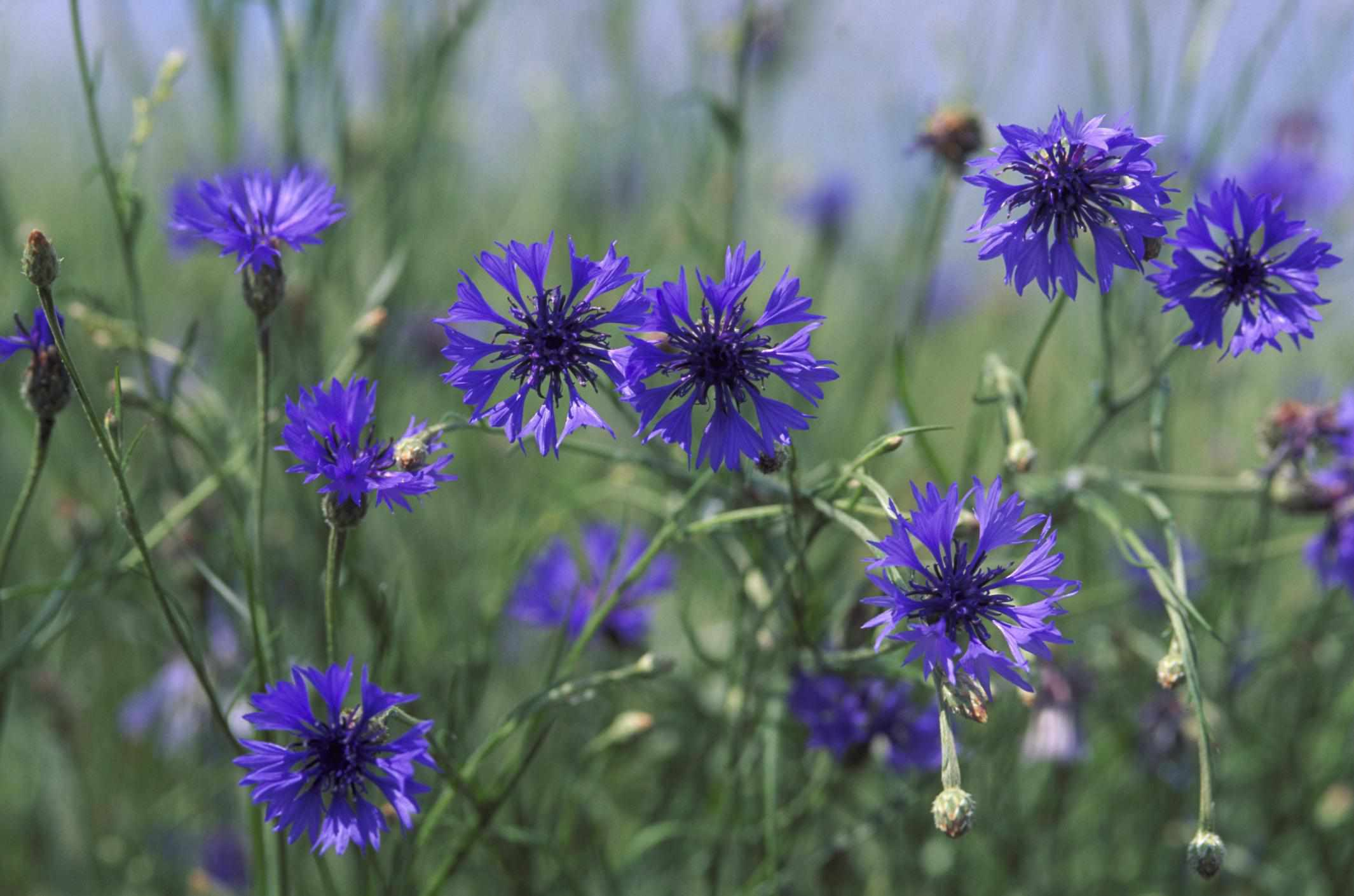 A closeup of a cluster of cornflower
