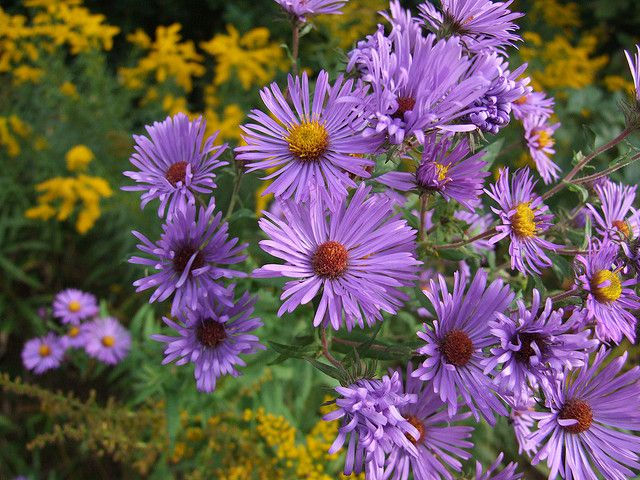 Asters feature clusters of pretty little purple or lavender flowers.