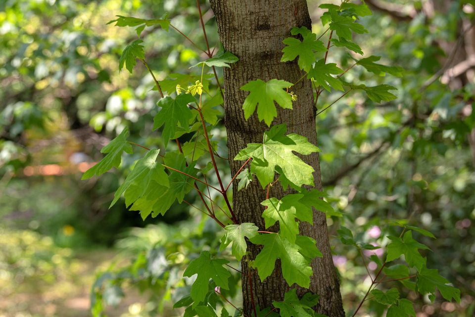 Big leaf maple branches with large green leaves on side of tree trunk