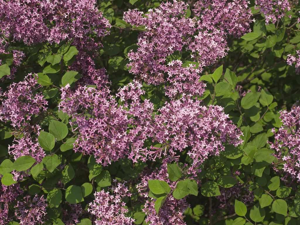 Bloomerang Purple