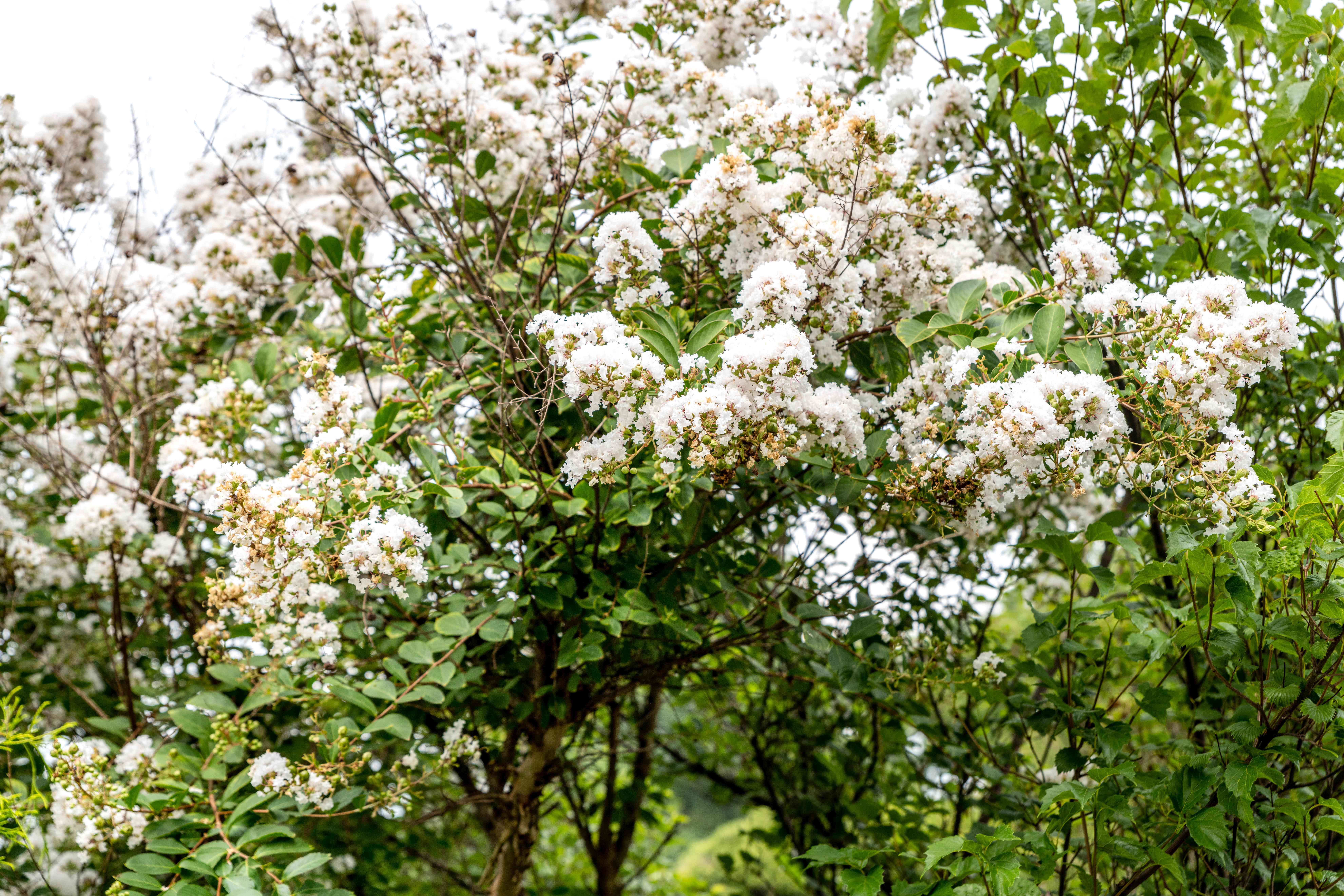 Acoma crepe myrtle tree with lush foliage and white bloom clusters on branches